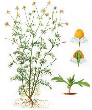musetelul planta medicinala matricaria