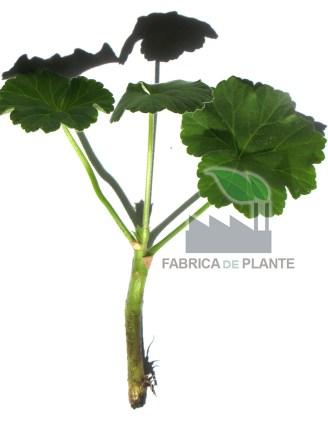 Hormoni inradacinare plante