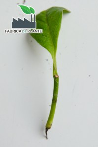 Butas de magnolie fara radacini, din cauza lipsei unui mugure de crestere.