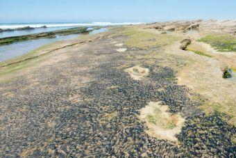 Traces de dinosaures sur la plage d'Anza, près d'Agadir