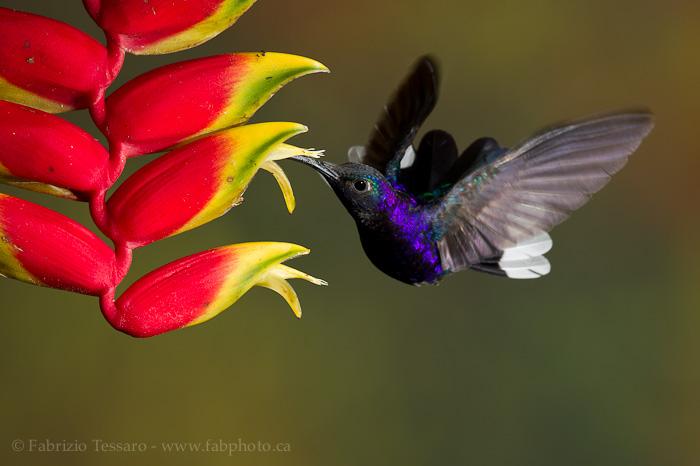 Bajos del toro, bosque de paz, Costa Rica,violet sabrewing
