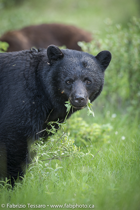 Black Bear in Jasper National Park, Alberta, Canada
