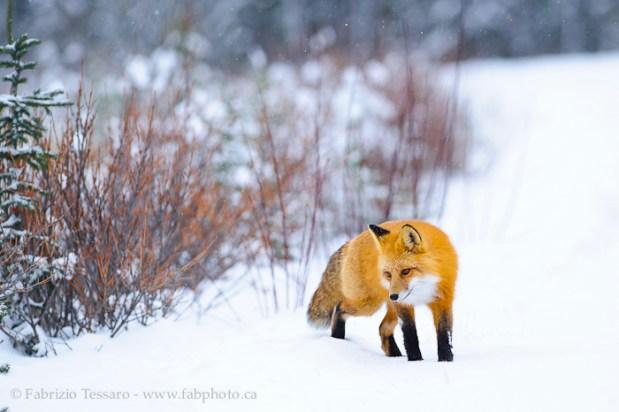 Jasper National Park, Alberta Canada, red fox,