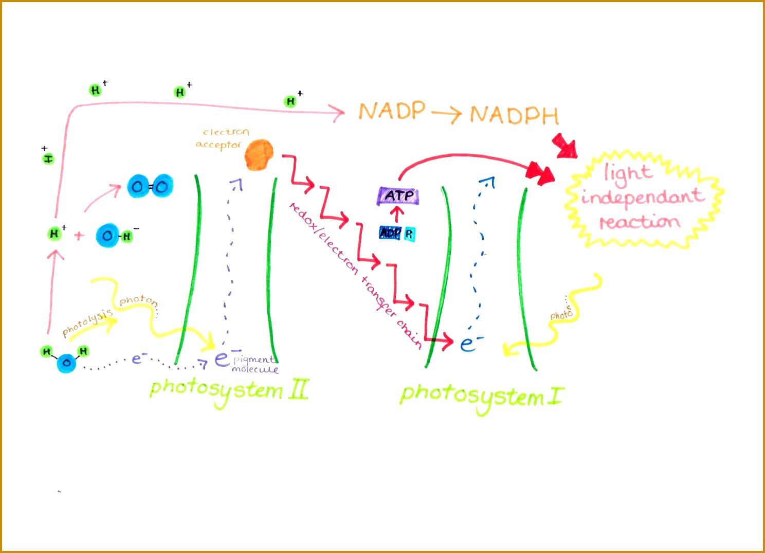 7 Photosynthesis Worksheet