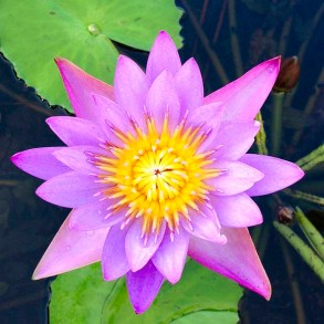 Lotus flower, Kerala, Telangana, Tamil Nadu, Andhra Pradesh, Karnataka, South India, India, Faces Places and Plates blog