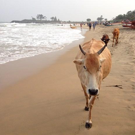 Mamallapuram beach cow, Shore Temple in the distance.