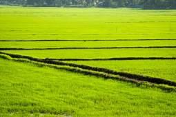 Rice field in Alleppey, Kerala backwater.
