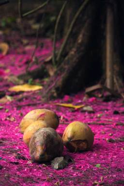Downed coconuts and magenta flower pedals.