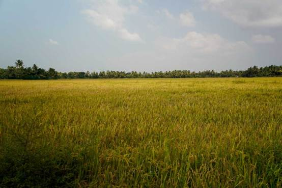 Rice field, Chennamkary in the Keralan backwaters.