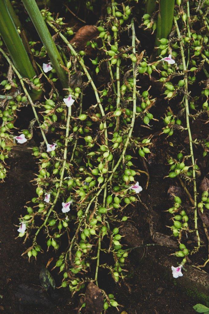 Cardamom on the vine.