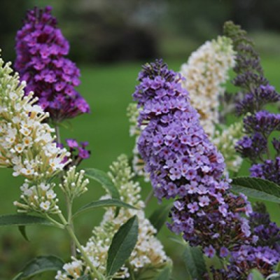Image of Buddleja 'Buzz' series
