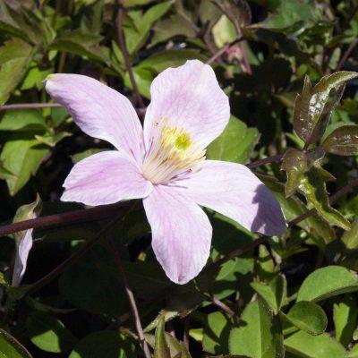 Image of Clematis montana rubens
