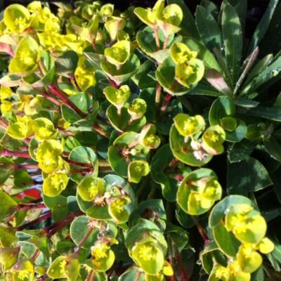 Image of Euphorbia 'Redwing' TM PBR
