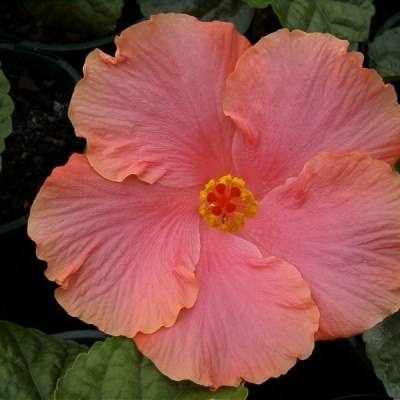 Image of Hibiscus 'Flower Girl'