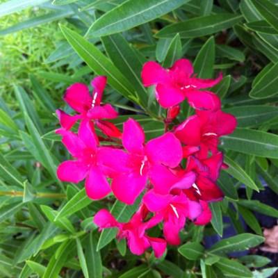 Image of Nerium oleander 'Cherry Surprise'