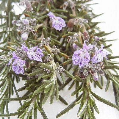 Image of Rosemary officinalis Savor