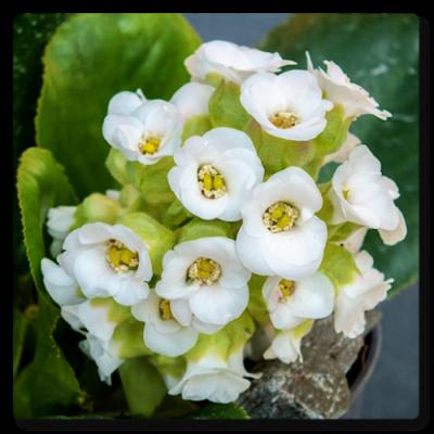 Image of Bergenia cordifolia 'Diamond Drops'