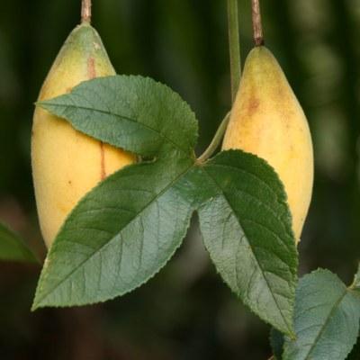 Image of Passiflora mollissima 'Banana Passionfruit'