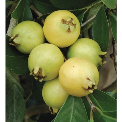 Image of Psidium cattleianum lucidum 'Lemon Guava'