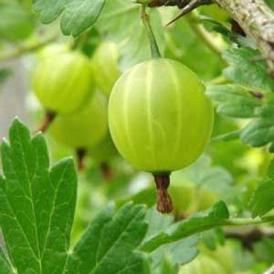 Image of Ribes uva-crispa 'Captivator Gooseberry'