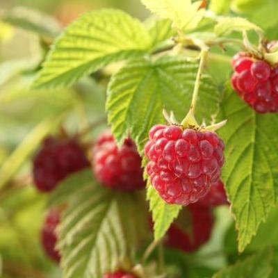 Image of Rubus idaeus 'Raspberry'