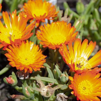 Image of Mesembryanthemum 'Orange'