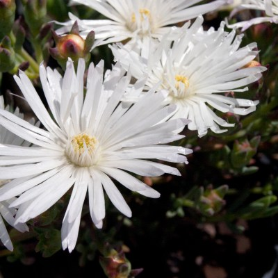 Image of Mesembryanthemum 'White'