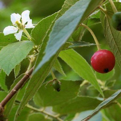 Image of Muntingia calabura 'Panama Berry'