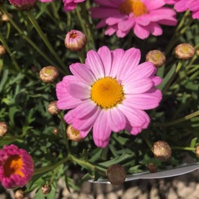 Image of Argyranthemum 'Angelic Baby Pink'