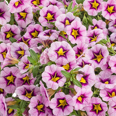 Image of Calibrachoa 'Superbells Morning Star'