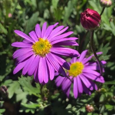 Image of Brachyscome 'Fresco Purple'