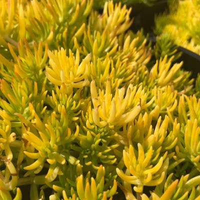 Image of Sedum acre 'Golden Moss'