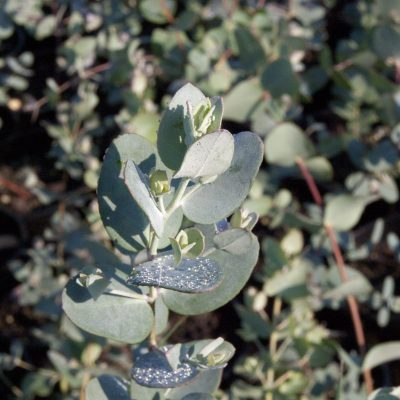 Image of Eucalyptus gunnii subsp. divaricata 'Silverdrop'