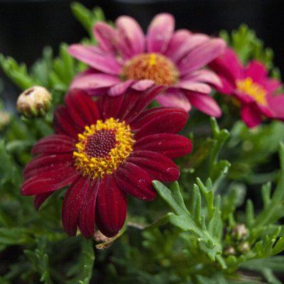 Image of Argyranthemum 'Angelic Burgundy'