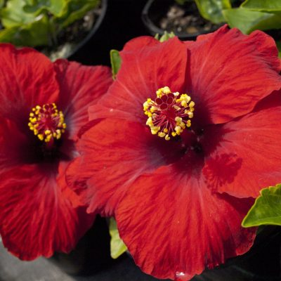 Image of Hibiscus Rio Clara 'Ruby Red'
