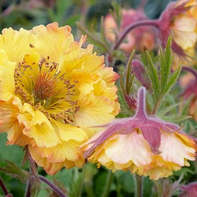 Image of Geum coccineum 'Can Can'