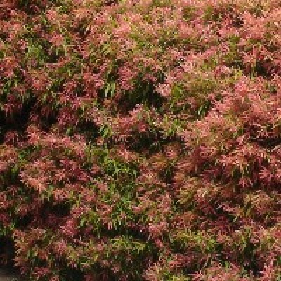 Image of Callistemon 'Great Balls of Fire'™PBR
