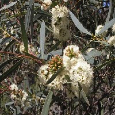 Image of Eucalyptus 'Tucker Time® Honey Pots'