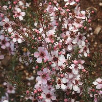 Image of Leptospermum 'Aussie Blossom® Joy' PBR
