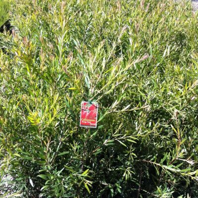 Image of Callistemon 'Kings Park Special'