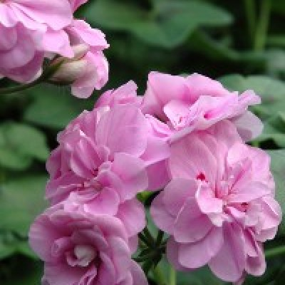 Image of Pelargonium peltatum 'Royal Lavender'