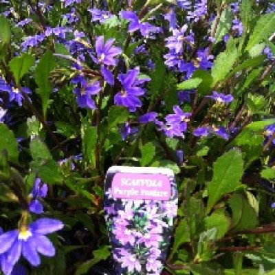 Image of Scaevola 'Purple Fanfare'