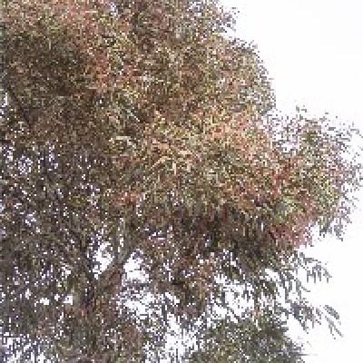 Image of Corymbia maculata variegata 'FAC1' 'Ribbons of Hope'