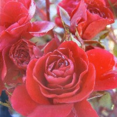 Image of Rose 'Meidiland Fire'  NEW