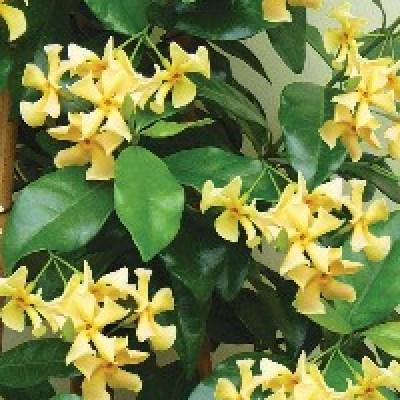 Image of Trachelospermum jasminoides 'Star of Toscana'