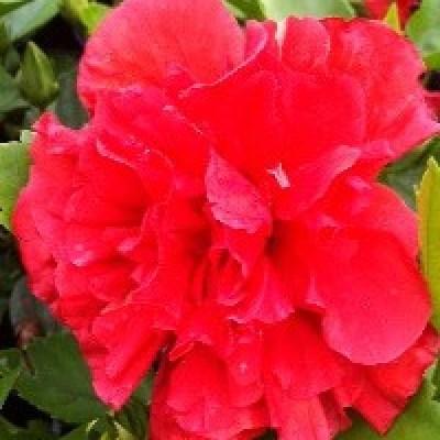 Image of Hibiscus 'Klahanie Strawberry Crush'