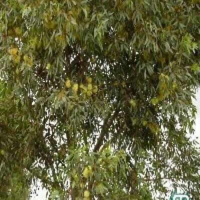 Image of Eucalyptus 'Summer Scentsation'™