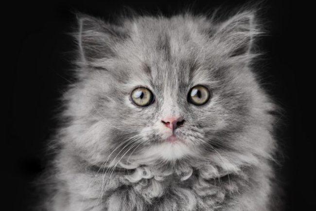Подарили нам с парнем котёнка редкой породы... • Фактрум