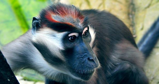 Cherry Crowned Mangabey Monkey