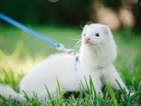 30 Cute and Fun Facts about Ferrets